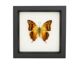 framed charaxes candiope butterfly