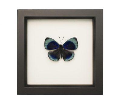 framed charles darwin butterfly