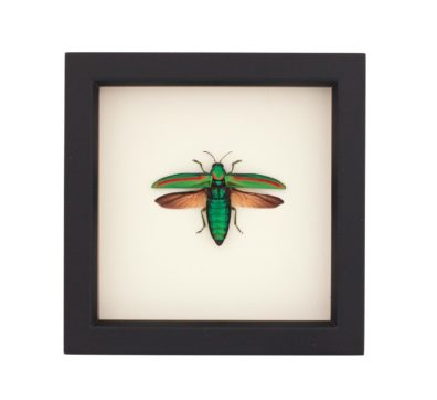 Framed Banded Jewel Beetle (Chrysochroa rajah)
