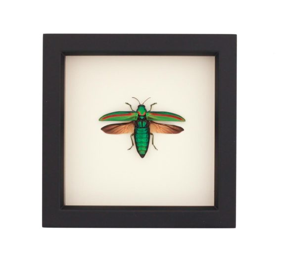 framed-chrysochroa-rajah-jewel-2