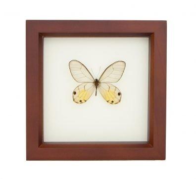 Framed Amber Glasswing Butterfly