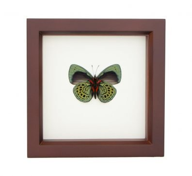 Framed Charles Darwin Butterfly (verso) (Asterope leprieuri)