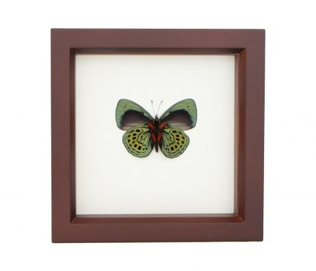 framed darwin butterfly