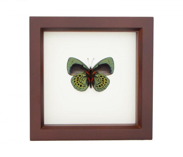 framed darwin butterfly