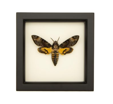 Framed Death Head Moth (Acherontia atropos)
