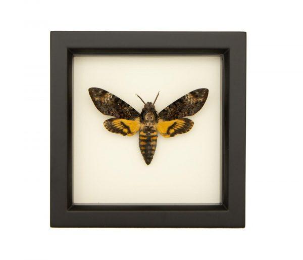 framed death head moth