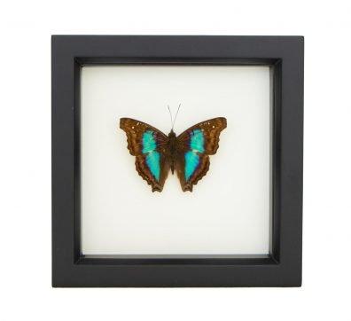 Framed Turquoise Emperor Butterfly (Doxocopa cherubina)