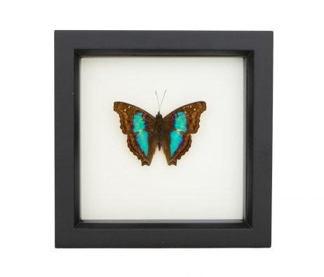 framed doxocopa cherubina