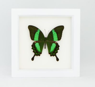 Framed Emerald Swallowtail (Papilio palinurus)