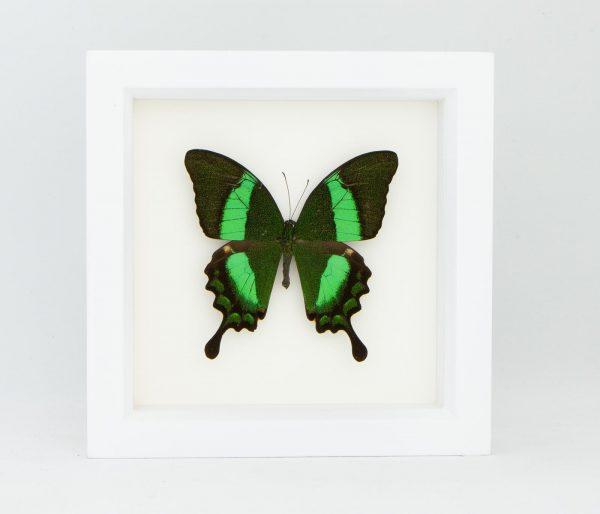 framed emerald swallowtail