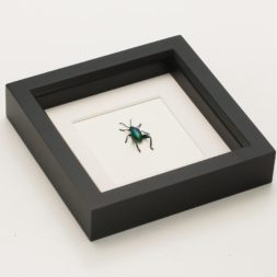 framed frog beetle