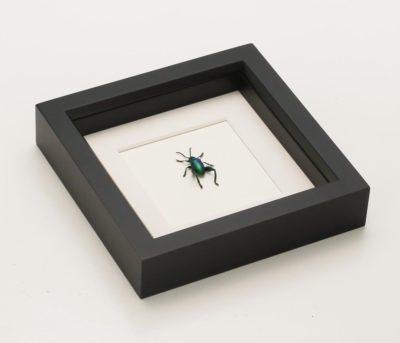 framed frog beetle