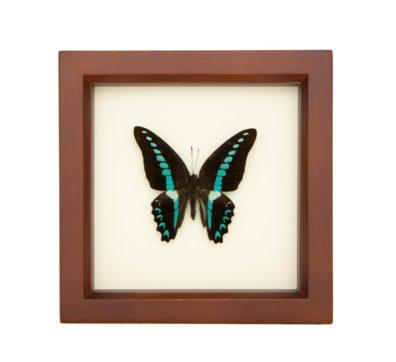 Framed Blue Triangle Butterfly (Graphium sarpedon milon)