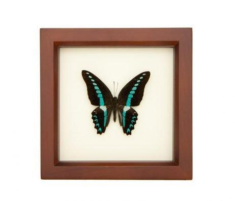 framed graphium sarpedon milon