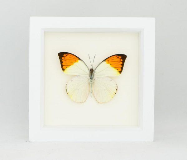 framed-great orange tip butterfly