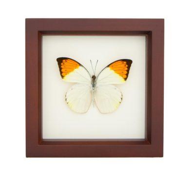 Framed Great Orange Tip Butterfly (Hebomoia glaucippe)