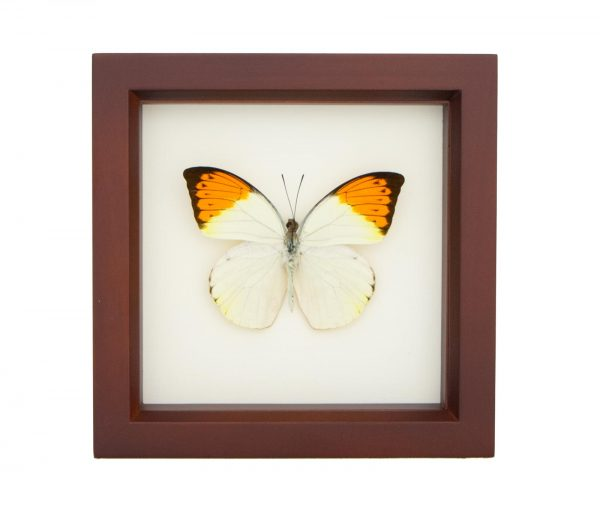 framed great orange tip butterfly