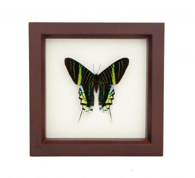 Framed Green Banded Urania Moth (Urania leilus)