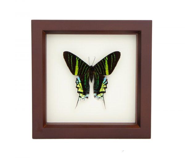 framed green banded moth