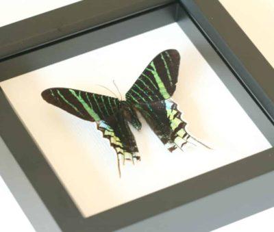 framed green moth