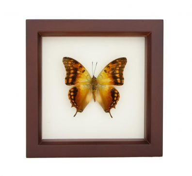 Framed Green Veined Emperor Butterfly (Charaxes candiope)