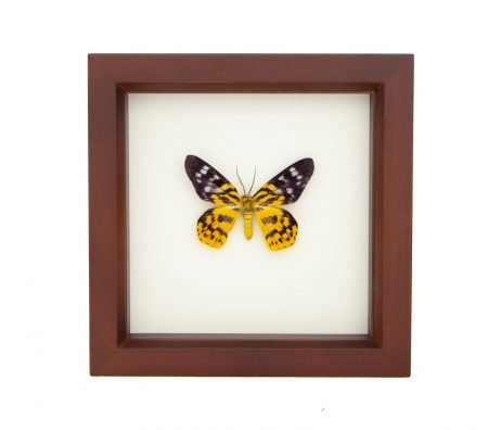 framed inchworm moth