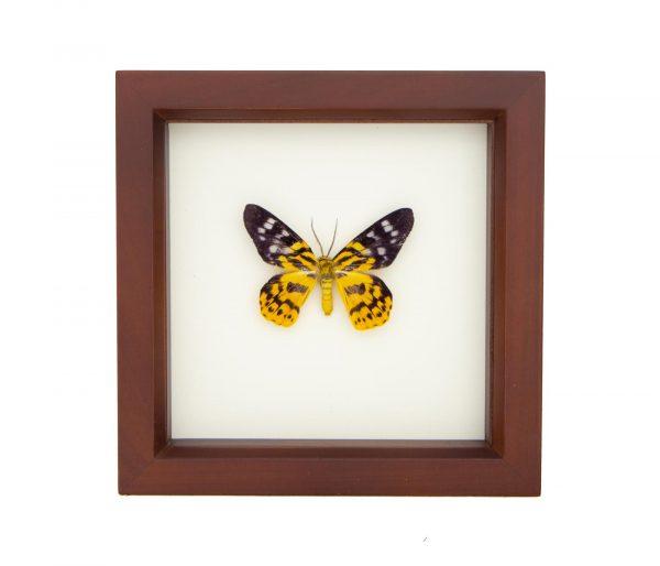 framed inchworm moth