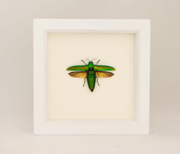 framed jewel beetle white frame