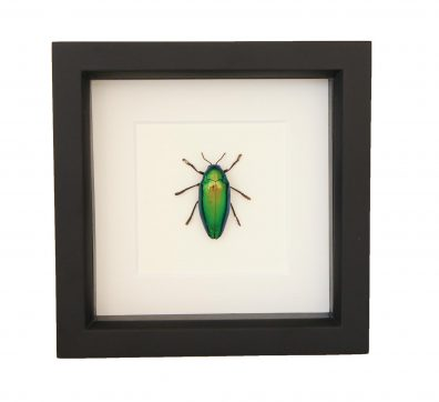 Framed Green Jewel Beetle