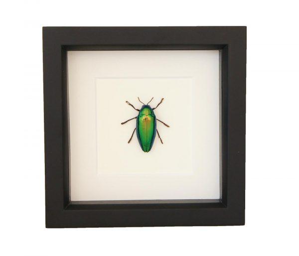 framed jewel beetle art