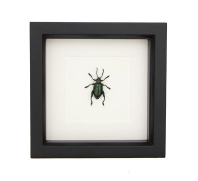 Framed Jeweled Frog Beetle (Sagra species)