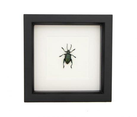 framed jewel frog beetle