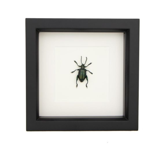 framed jewel frog beetle