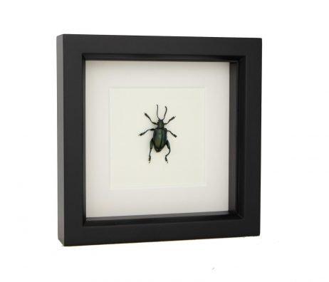 framed kangaroo beetle