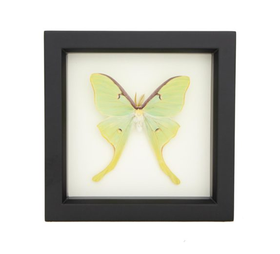 framed luna moth display