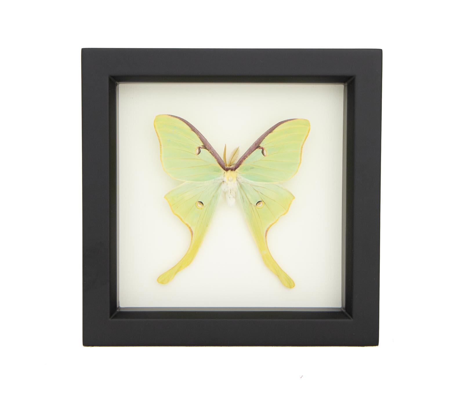 framed luna moth display