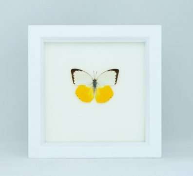 Framed Sea Monster Butterfly (Catopsilia scylla)
