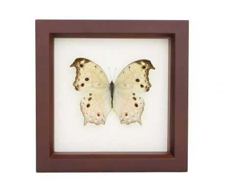 framed mother of pearl butterfly