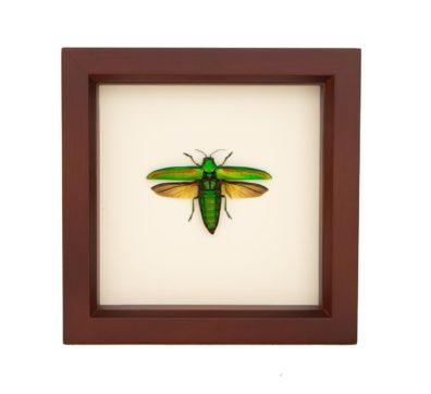 Framed Banded Jewel Beetle (Chrysochroa rajah)