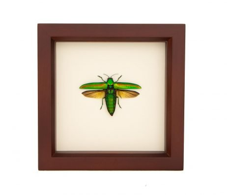 framed open wing jewel beetle