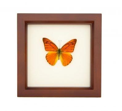 Framed Orange Albatross Butterfly (Appias nero)