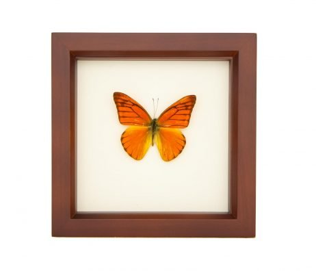 framed-orange-albatross-butterfly
