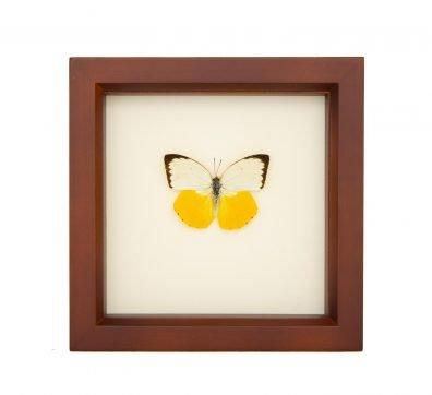 Framed Sea Monster Butterfly (Catopsilia scylla)