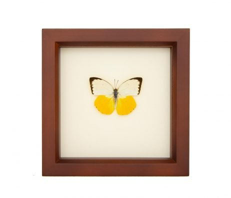 framed orange migrant butterfly