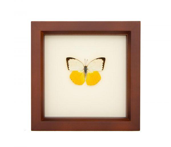 framed orange migrant butterfly