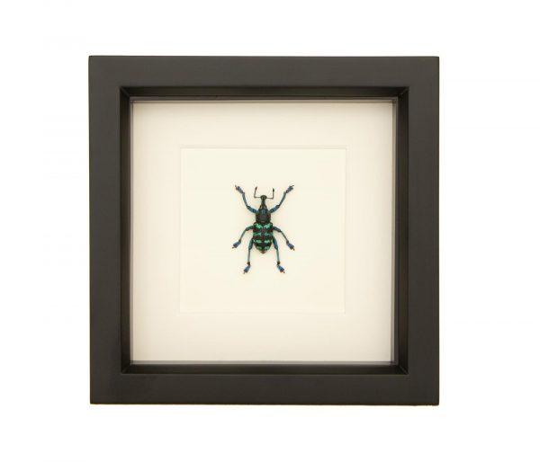 framed painted weevil