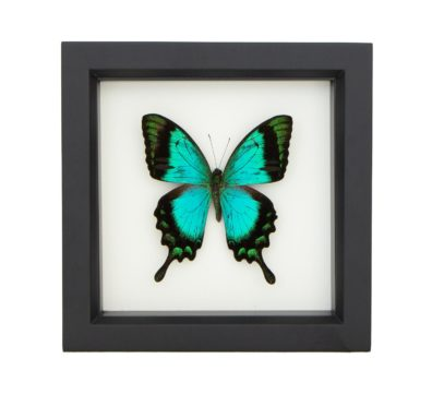 Framed Sea Green Swallowtail (Papilio lorquinianus)