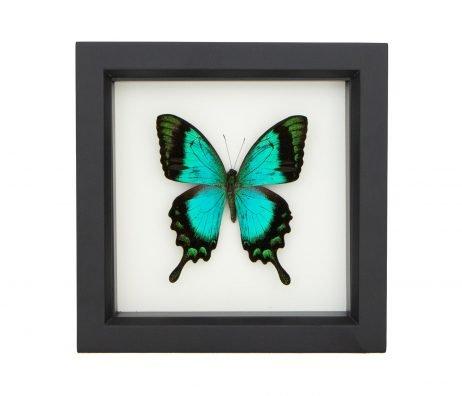 framed papilio lorquinanus