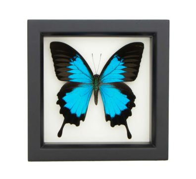 framed-papilio-ulysses-butterfly