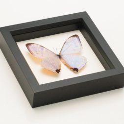 framed pearl morpho